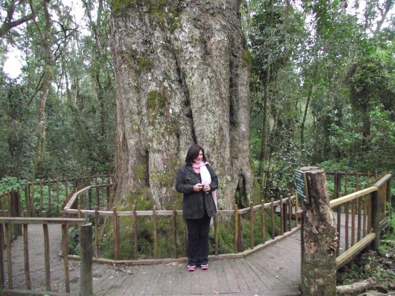 Woodville Geelhoutboom